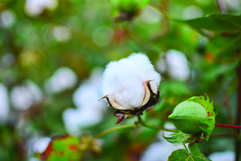 cotton culin plan ahead - HD1500×1000