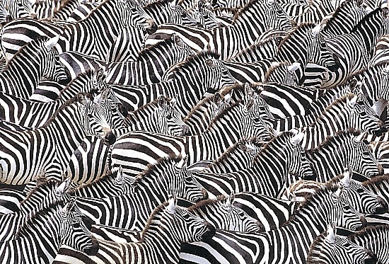 Art now and then zebra art zebras unknown artist closer to op art than animal art altavistaventures Gallery