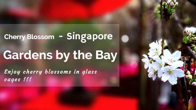 Bạn đã từng ngắm hoa anh đào ở Singapore?
