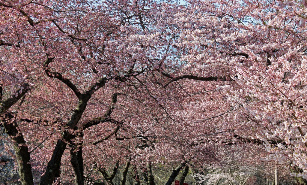 Philadelphia Cherry Blossom Festival 2020.2020 Cherry Blossom Festival National Cherry Blossom