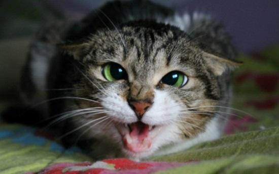 cara mengatasi kucing galak atau agresif