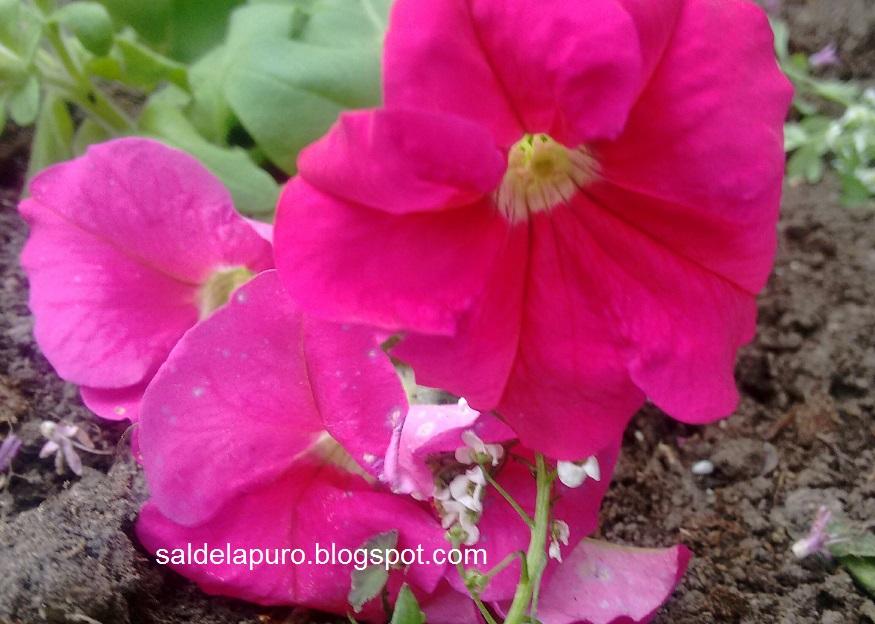 flores-rosa