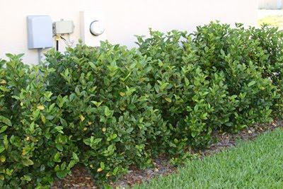 Shrubs Green Year Round Landscaping Materials Peoria Az