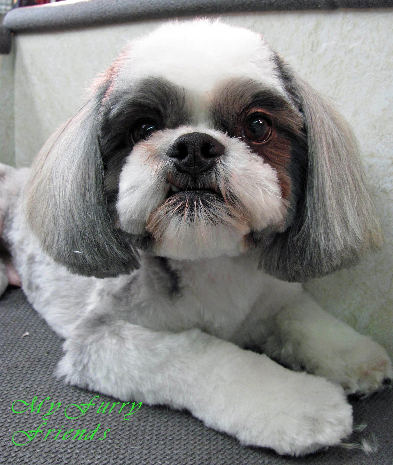 shaved shih tzu pet grooming the good the bad the furry scissoring a 9174
