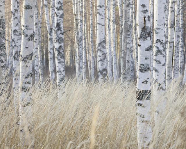 Metsä tapetti Valokuvatapetti Koivutapetti koivunrunko