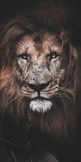 Lion Mobile HD Wallpaper