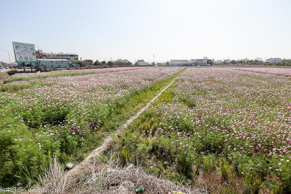 台中大肚花海廣達2公頃,還可以拍火車經過花海的畫面