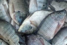 Unduh 52 Gambar Ikan Mas Kena Pancing Terbaru