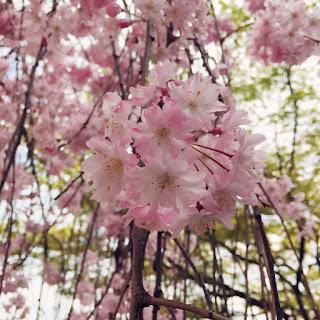 京都 桜 鴨川