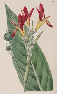 dibujo de hoja flor y fruto de achira o sagú