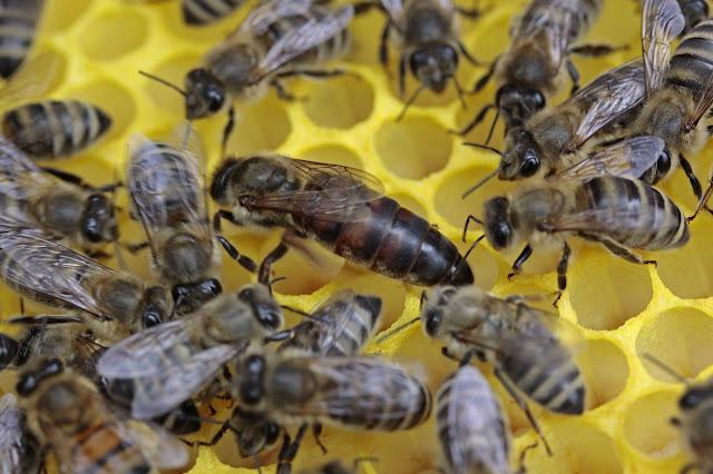 Menangkap Ratu Lebah