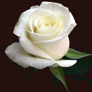 jual-rangkaian-bunga-mawar-putih-surabaya