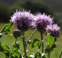 Thistle Eildon Hill Scottish Borders