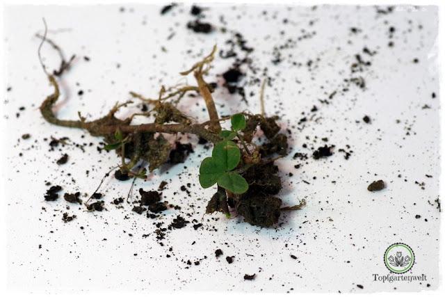 Gartenblog Topfgartenwelt Wird das was oder kann das weg? - Rotklee