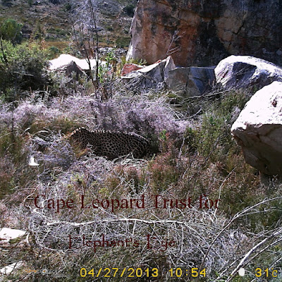 Cape mountain leopard 2013