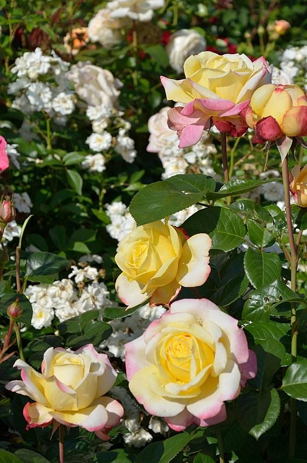 Kordes Jubilee сорт розы фото