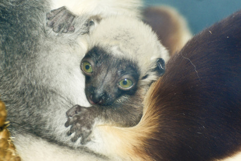 Baby Animals: Tiny sifaka lemur 3