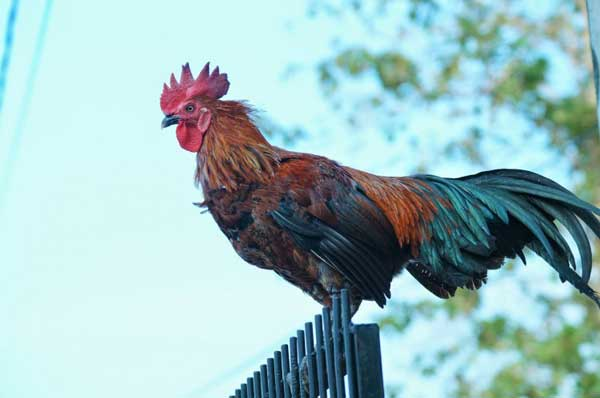 Ayam Bori Tase  - Macam Jenis Ayam Ketawa
