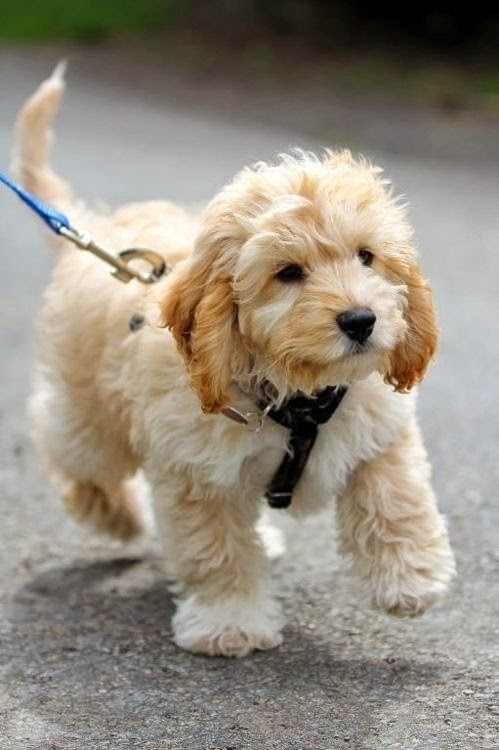 They Are The Cutest Puppies!   21 Reasons Labradoodles Are Wonderful