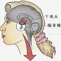 泌乳激素(PRL)是腦下垂體前葉所分泌之賀爾蒙