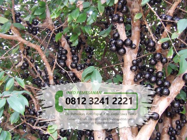 Jual Bibit Buah Anggur Pohon / Jaboticaba