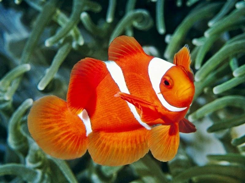 Ikan Nemo Sudah Bisa Dibudidayakan