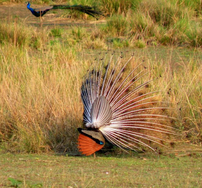 Birds in Kanha National Park