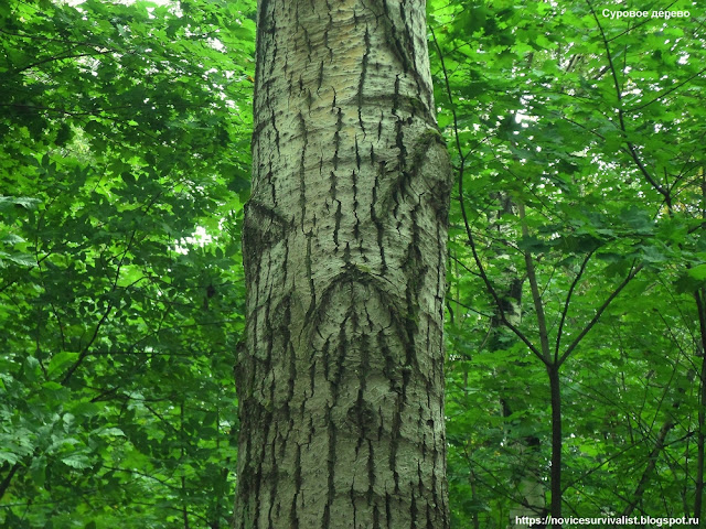 Суровое дерево