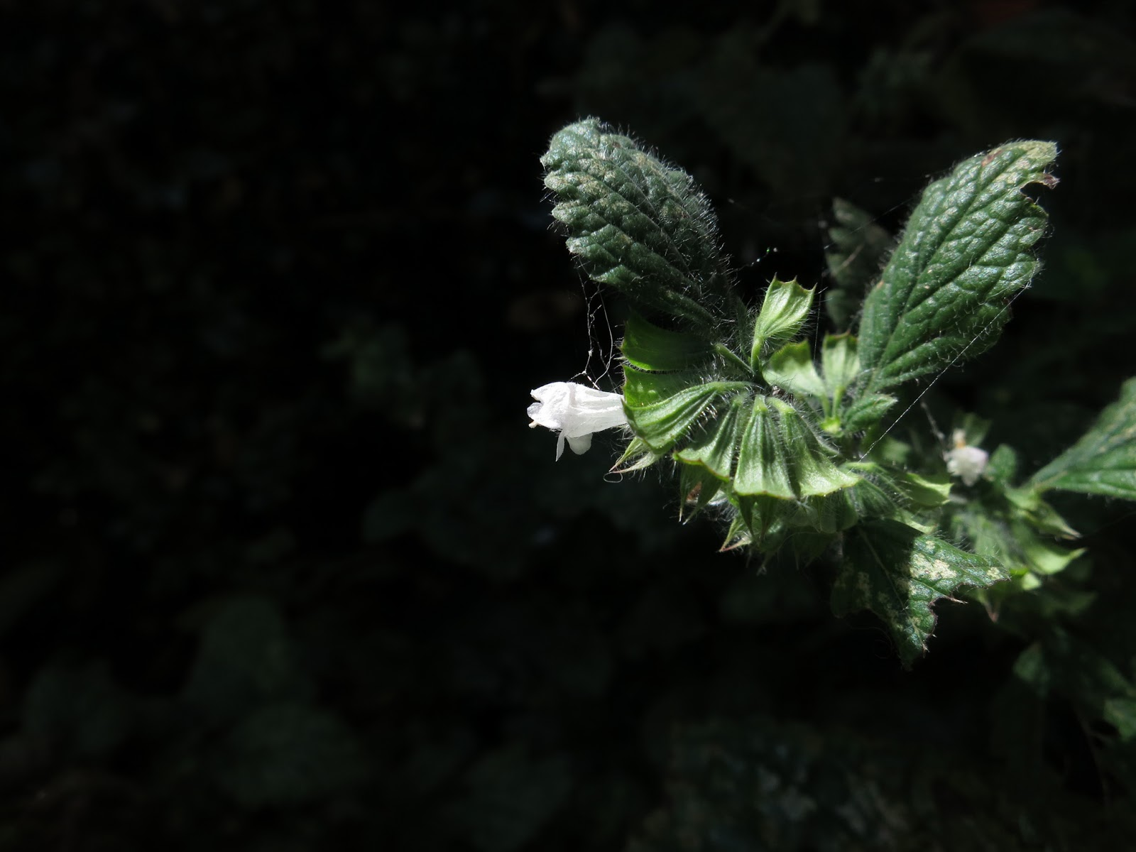 White flower of lemon scented balm against dark background