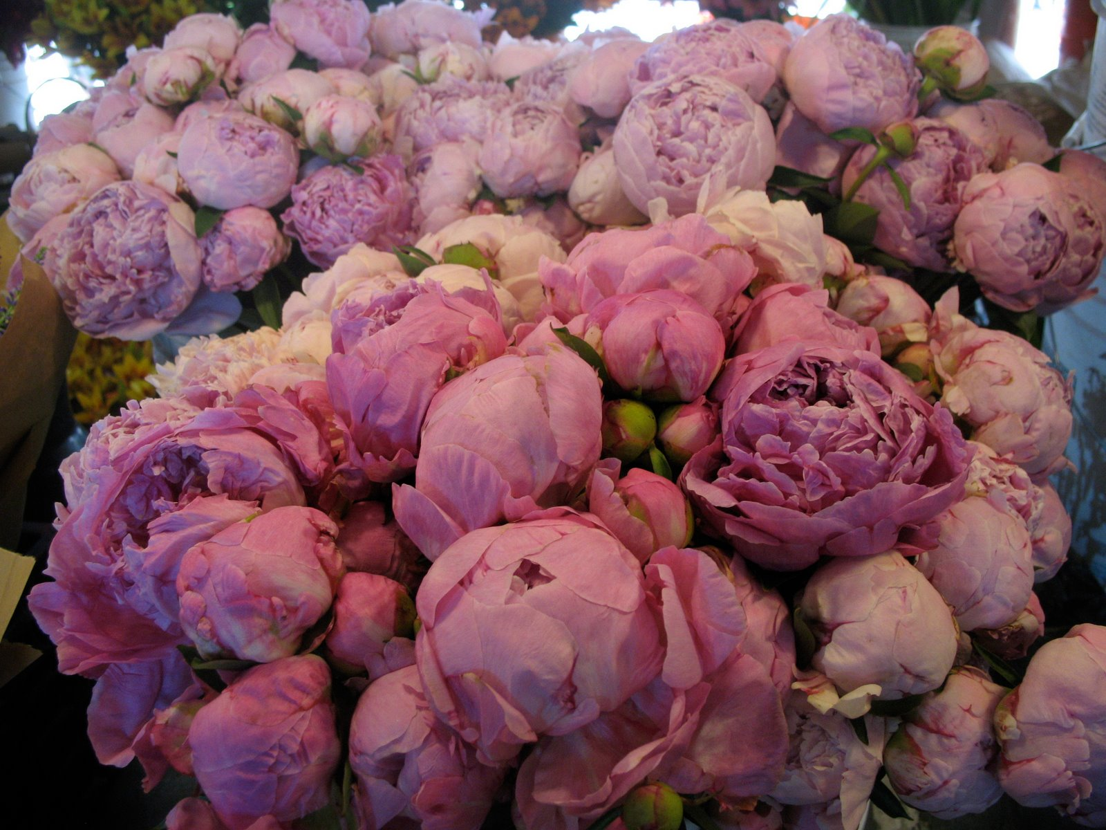Late Fall Wallpaper Windmill Farm Roses Peonies And Snow Ball Plants Are