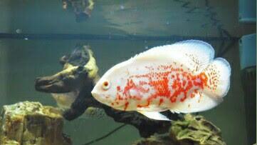 ikan hias oscar albino