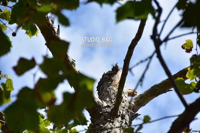 Δέντρο κόπηκε στη μέση και έπεσε πάνω στο Εργατικό Κέντρο Ναυπλίου (βίντεο)