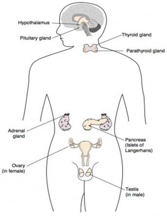 Various Glands and Hormones1 - मानव शरीर में विभिन्न ग्रंथियां और हार्मोन्स