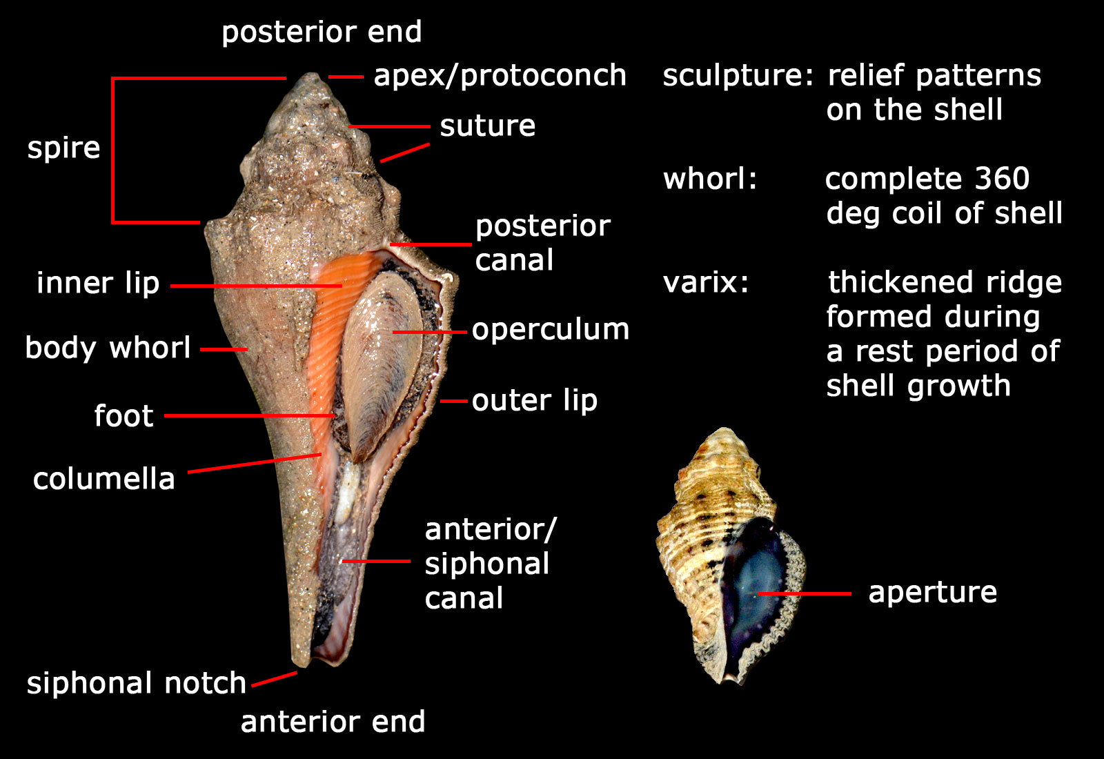 mollusca diagram labeled mk4 golf speaker wiring the tide chaser turban snails phylum family