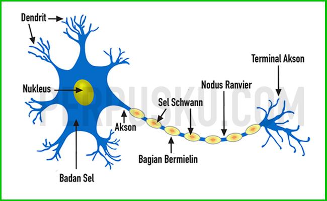 Jaringan Saraf (Nervous Tissue)