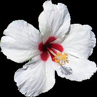 Hibisco branco png