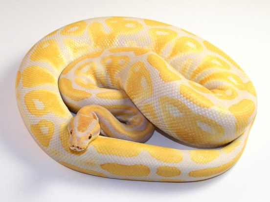 See Photos of the World's Most Expensive Snake Called Lavender Albino Ball Python, Costs N14 Million