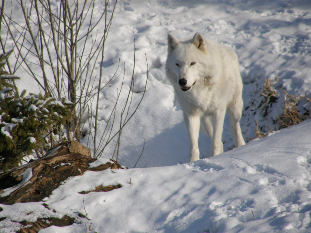 related pictures arctic wolves - photo #21