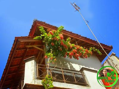 FOTO : Bunga melati belanda dirambatkan ke lantai 2 untuk peneduh torn air