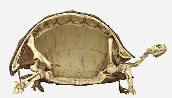 Scheletro di Tartaruga