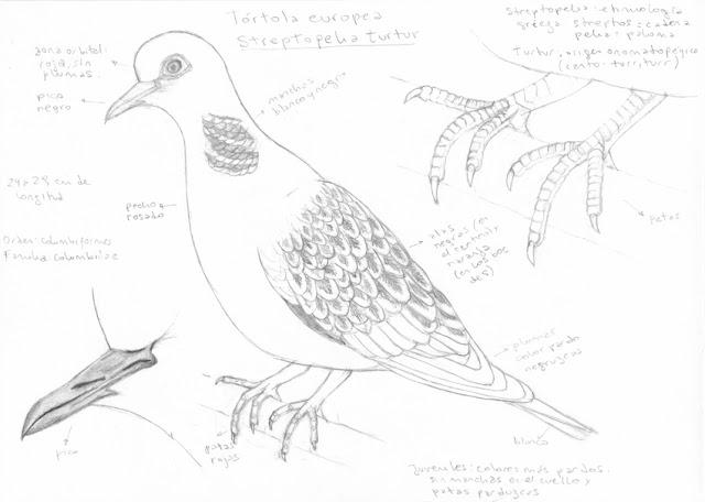 Ana Isas - Tórtola europea (Streptopelia turtur) - ilustra aves 1