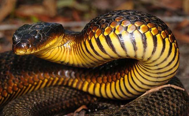 Ular harimau (Notechis scutatus)