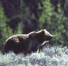 Female Grizzly Euthanized After Apparent Fall on Going-to-the-Sun Road