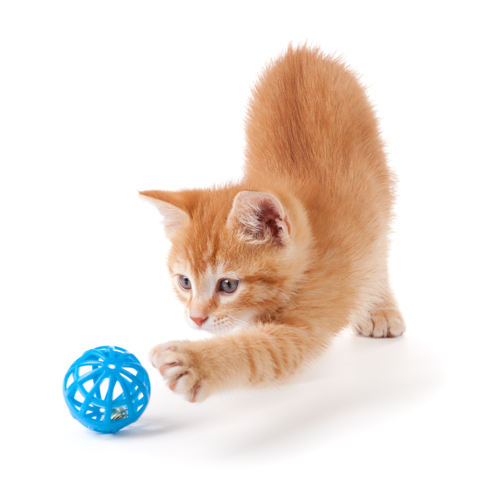 8 Cara mudah melatih kucing bermain lempar tangkap