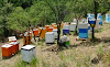 Κόβωντας παραφυάδες μισό μέτρο δίπλα από τα μελίσσια: Για διπλασιασμό του μελισσοκομείου μας