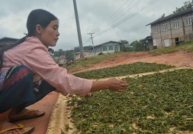 ေအာင္ၿငိမ္းခ်မ္း (Myanmar Now) ● လက္ဖက္ေျခာက္ ပိုေကာင္းရန္ နည္းလမ္းေဟာင္းကို ျပဳျပင္ရမည္