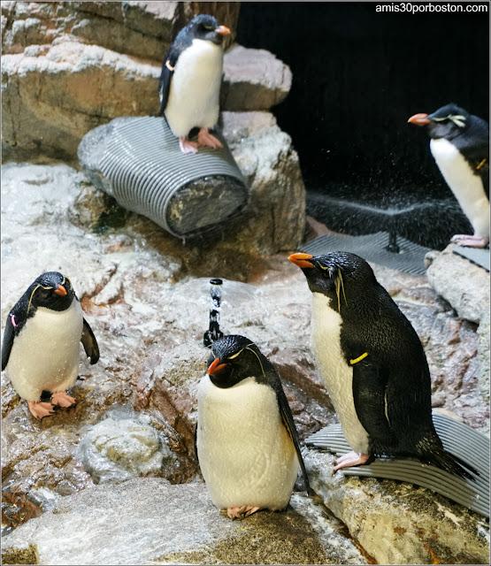 Pingüinos de Penacho Amarillo en el Acuario de Boston