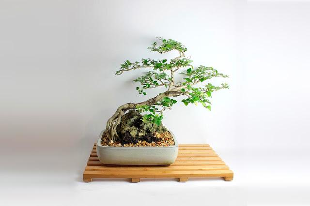 карликовое дерево бонсай, интерьер, дизайн, фотографии