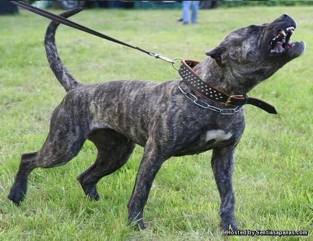 Dogo Canarios