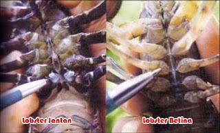 Perbedaan Lobster jantan dan lobster betina